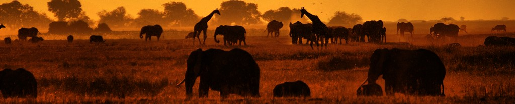 Evening at Chobe River - hundreds of elephants, buffalos, giraffes, and other animals come to drink, eat and socialise