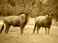 Wildebeest in Moremi Game Reserve